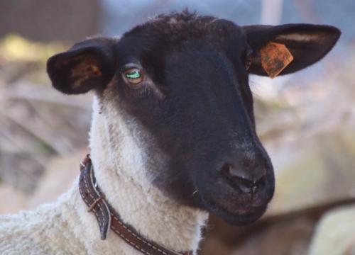 Mama owieczka :-)
